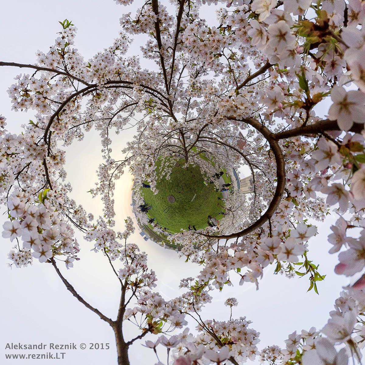 Sakura blossom in Vilnius